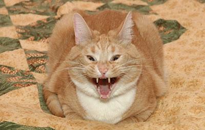 Julius yawning