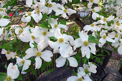 Dogwood flowers 3