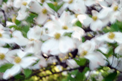 Dogwood flowers 4
