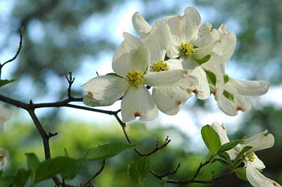 Dogwood flowers 6