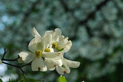 Dogwood flowers 7