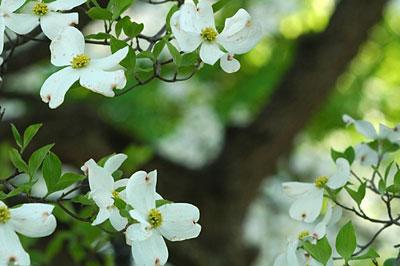 Dogwood flowers 8