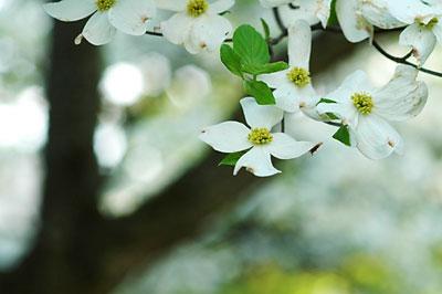 Dogwood flowers 9